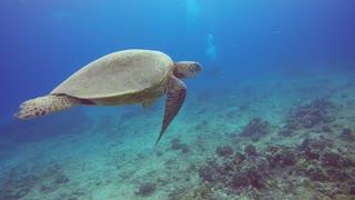 Molokai Turtle