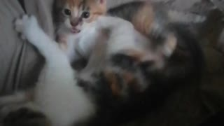 Cute kittens fighting