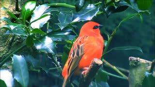 red fody bird singing