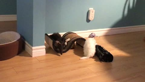Persian kittens playing funny