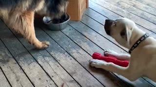 Kangal puppy moves German Shepherd for water