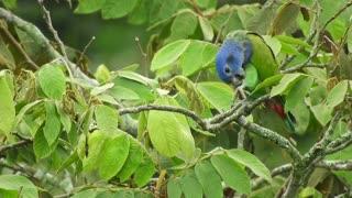 Indian Ringneck Parrot Natural