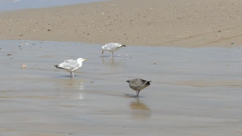 Seagulls Landed On Beach , Worms Attacker