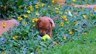 Cute Puppy With A Tennis Ball