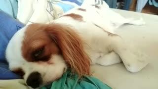 Snoring puppy