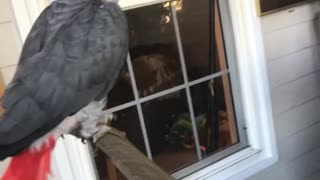 Parrot jams out to classical music