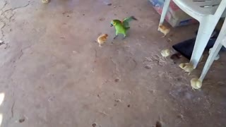 The chick pokes with the parrot and looks at it!