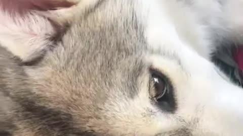 husky Puppies Hugging