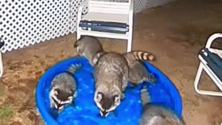 Raccoons Come Around for a Swim