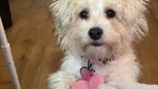 Schnoodle Playtime