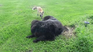 Fox Makes Friends With Huge Dog