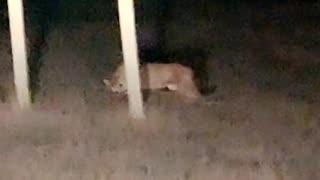 Montana Motorist Observes A Mountain Lion Having a Roadside Meal