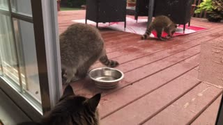Cat watching a family of raccoons