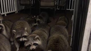 Italian Raccoon Whisperer