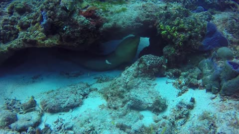 A very old moray eel