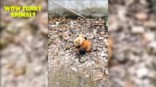 dog and chicken fight - funny video