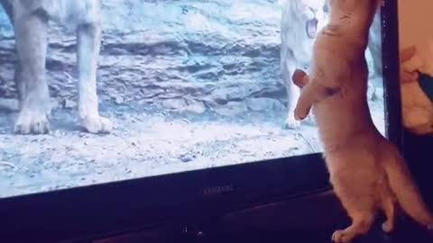 CAT FELT TERRIFIED SEEING LIONS & FALL