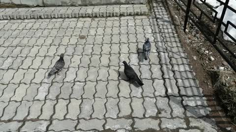 These pigeons are walking on the asphalt.