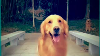 Talented golden retriever dog performs Amazing dance🥰