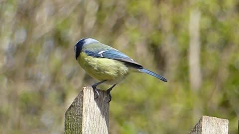 Singing Bird Blue Tit