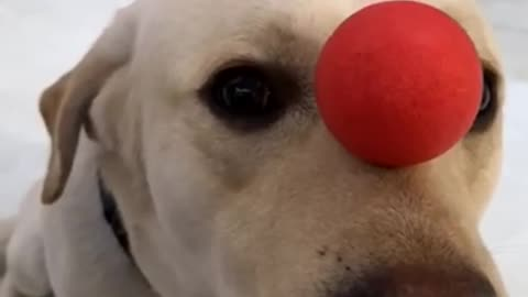 The dog plays acrobatics and tops a ball