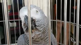 A gray parrot whistling!