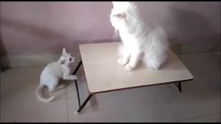 Kitten pesters Cat