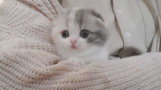 Cute Kitten Short Leg | Sisvie