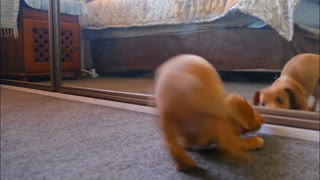 Cute Dog Playing with Mirror