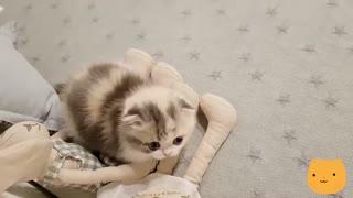 🐱A Lovely Short Legs Kitten