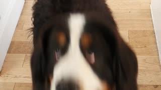 Huge Bernese Mountain Dog wants a pancake
