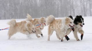 Husky sled dogs running in the snow