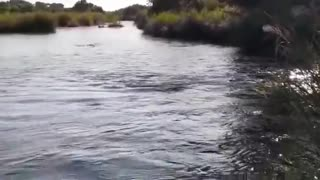 Crocodile eat hyena in the river