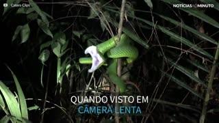 O ataque de uma cobra em super câmera lenta