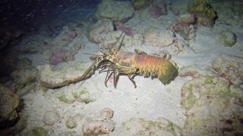 Lobster at night