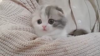 Cute Kitten with short Legs   The Most Adorable Kitten Ever!