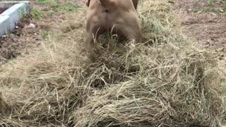 Velvet Mastiff Loves Playing in Hay