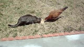 CAT SHARING A MEAL WITH CHICKEN!