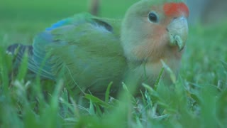 Very cool video of a green parrot eating from weeds