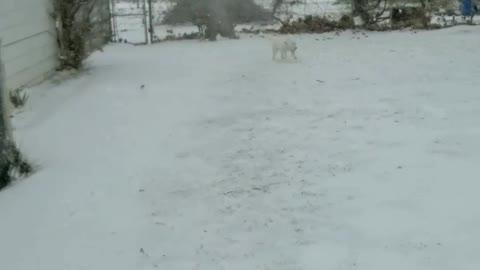 Husky discovering snow