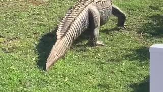 Alligator Sneaks Through Neighborhood for a Swim