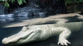 Rare Albino Alligator