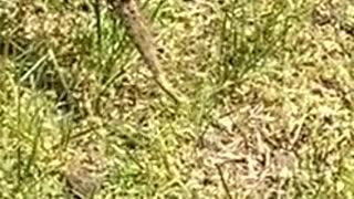 Turtle Lays Eggs in Backyard