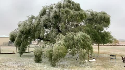 Frozen Tree - Oklahoma Ice Storm 2020