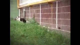 Super-Rat attack