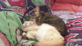 Fennec fox preciously cuddles with loving cat