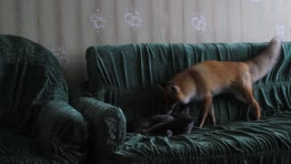 A cat plays with a fox