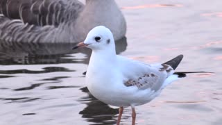 A very beautiful gull bird
