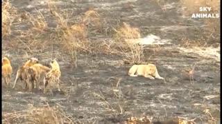 amazing animal attacks wild animals