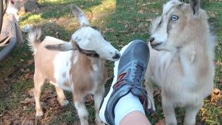 Goats bite new shoes